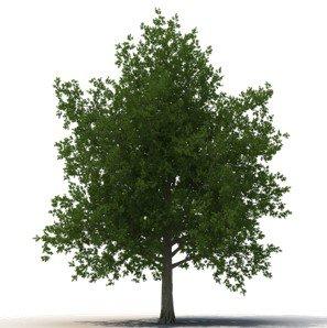 Tree_Maple.jpg